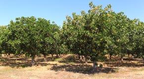 Pistachio Trees Stock Image