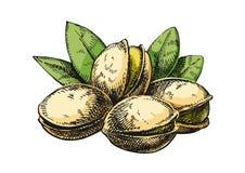 Pistachios sketch illustration. Version stock photo