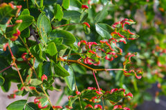Pistacia atlantica or Persian turpentine tree. Royalty Free Stock Photography