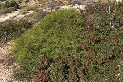 Pistacia lentiscus or mastic, Red fruits and leaves - Karpathos island, Greece. Pistacia lentiscus is native throughout the Mediterranean region royalty free stock photos