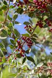 Pistacia lentiscus red ripened fruits and leaves on branches. Blue sky Stock Image