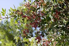 Pistacia lentiscus red ripened fruits and leaves on branches. Blue sky Stock Photography