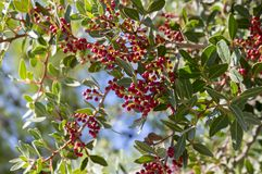 Pistacia lentiscus red ripened fruits and leaves on branches. Sunlight and blue sky Royalty Free Stock Photo