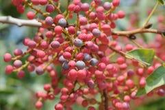 Pistacia vera, a árvore do arsênico do fruto Fotografia de Stock Royalty Free