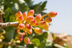 Pistacjowa roślina Fotografia Stock