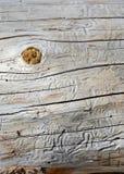 Pistas aburridas hechas por los escarabajos en árboles de pino, Foto de archivo