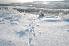 Pistas animales del pie del Fox en la nieve imagen de archivo
