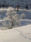 Pistas animales en la nieve que lleva a un árbol de abedul, pubescens de Betula Foto de archivo