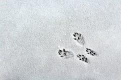 Pistas de la ardilla en la nieve imagenes de archivo