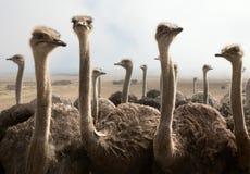 Pistas de la avestruz Fotografía de archivo