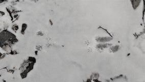 Pistas de la marta americana en nieve imagenes de archivo