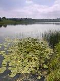 Pistas de Lilly en un lago Fotografía de archivo libre de regalías