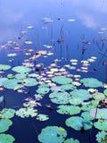 Pistas de lirio de agua en otoño fotografía de archivo