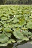Pistas de lirio en el lago Fotos de archivo