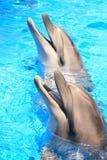 Pistas de los delfínes: Sonrisas - cuadro común Imágenes de archivo libres de regalías