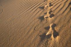 Pistas del conejo en la arena Foto de archivo libre de regalías