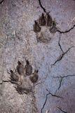 Pistas del lobo Foto de archivo libre de regalías