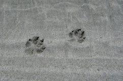 Pistas del lobo en la arena en la península de Brookes foto de archivo