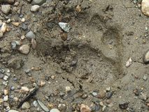 Pistas del oso de Brown en Alaska imagenes de archivo