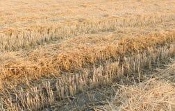 Pistas del tractor en el rastrojo del trigo Imagen de archivo libre de regalías