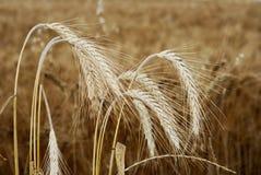 Pistas del trigo imágenes de archivo libres de regalías