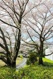 Pistas do pathsbike do ciclismo e árvores de cereja em Showa Kinen KoenShowa Memorial Park, Tachikawa, Tóquio, Japão na mola Foto de Stock
