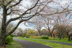 Pistas do pathsbike do ciclismo e árvores de cereja em Showa Kinen KoenShowa Memorial Park, Tachikawa, Tóquio, Japão na mola Fotos de Stock
