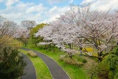 Pistas do pathsbike do ciclismo e árvores de cereja em Showa Kinen KoenShowa Memorial Park, Tachikawa, Tóquio, Japão na mola Foto de Stock Royalty Free
