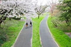 Pistas do pathsbike do ciclismo e árvores de cereja em Showa Kinen KoenShowa Memorial Park, Tachikawa, Tóquio, Japão na mola Fotografia de Stock