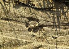 Pistas frescas del león en la tierra imagen de archivo
