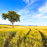Pistas, árbol y cielo del campo de trigo en primavera. Paisaje rural. Fotos de archivo libres de regalías