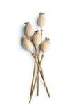 Pistas secadas de la amapola Fotografía de archivo