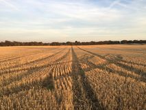 Pistas a través del campo de maíz Foto de archivo