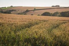 Pistas a través del campo del maíz Imagen de archivo