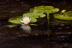 Pistas y flor de lirio de agua   Imágenes de archivo libres de regalías