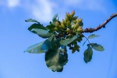Pistaschfrukt mognar pistascher Arkivbild