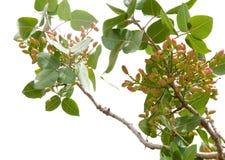 Pistaschträd Royaltyfria Foton