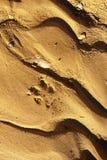 Piste de coyote Photos libres de droits