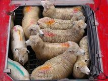 Piste de moutons Photos stock