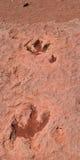 Piste del dinosauro Fotografie Stock Libere da Diritti
