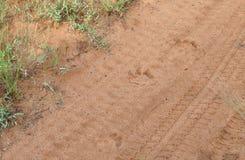 Piste del leone nella sabbia immagine stock