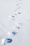 Piste dell'orso polare Fotografia Stock