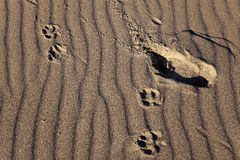 Pistes d'être humain et de crabot sur un fond d'ondes de sable Photos stock