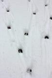 Pistes de cerfs communs photo libre de droits