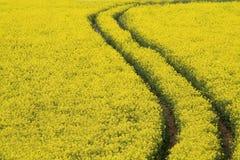 Pistes de graine de colza. Image libre de droits