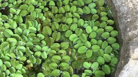 Pistia is a genus of aquatic plant stock video footage