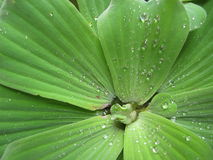 Pistia is a genus of aquatic plant. Royalty Free Stock Images
