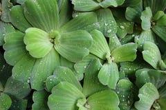 Pistia - laitue d'eau (chou d'eau - chou du Nil - shellflower) Images stock