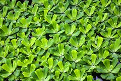 Pistia is a monotypic genus of the Aroid family Araceae . Grassy aquatic plant used in aquariums. background.  stock photography