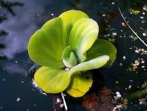 pistia rośliny woda Zdjęcie Royalty Free
